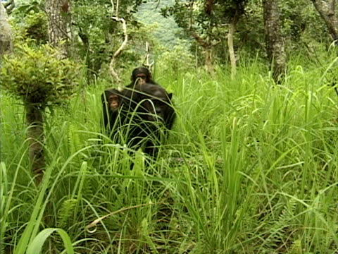 vídeos y material grabado en eventos de stock de ws female chimpanzee carrying her two young twins on her back in gombe stream national park / tanzania - parque nacional de gombe stream