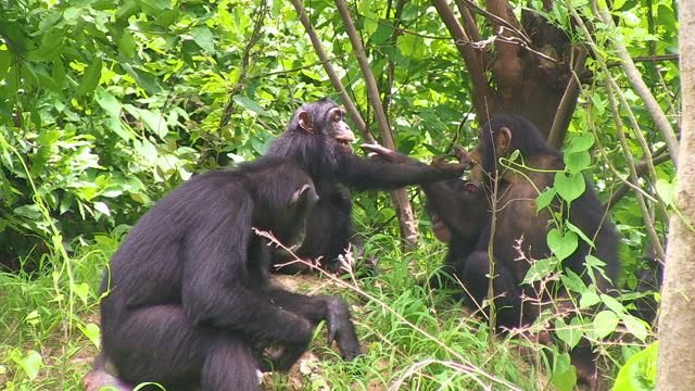 ms female chimpanzee fishing for termites with babies biting in background - twig stock videos & royalty-free footage