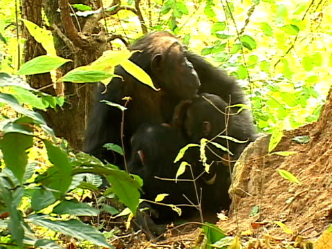 ms zi cu female chimpanzee weaning her two young twins who are upset because they want to suckle / tanzania - aggression stock videos & royalty-free footage