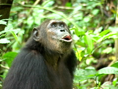 cu zo ws female chimpanzee with infant making calling sounds in gombe stream national park / tanzania - animal call stock videos & royalty-free footage