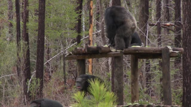 female chimpanzees aggressively attack male chimpanzee at refuge - 攻撃的点の映像素材/bロール