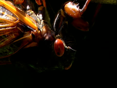 stockvideo's en b-roll-footage met female cicada digs her ovipositor into branch - vrouwtjesdier