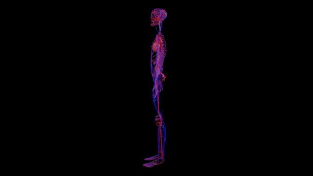 vidéos et rushes de female circulatory system - illustration biomédicale