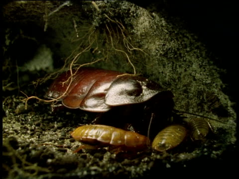 female cockroach tends babies in underground tunnel - ゴキブリ点の映像素材/bロール