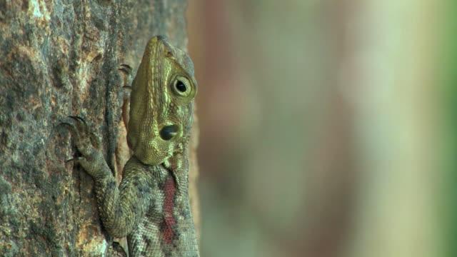 cu, female common agama (agama agama) on tree trunk, masai mara, kenya - disguise stock videos & royalty-free footage