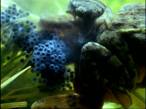 cu female common frog (rana temporaria) laying cluster of eggs as male fertilises them, underwater, england - animale femmina video stock e b–roll