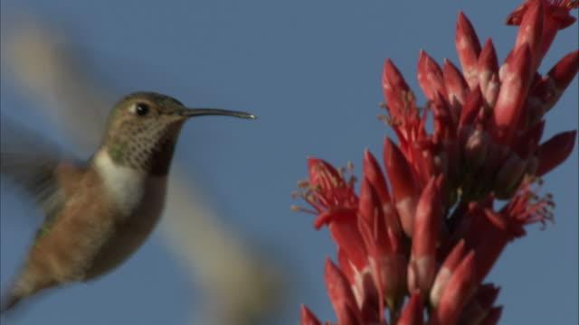 Female costa hummingbird feeds