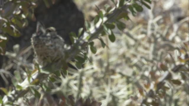 female costa hummingbird in nest - nido di animale video stock e b–roll