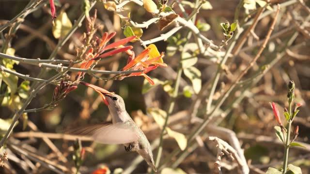 vídeos de stock e filmes b-roll de female costa's hummingbird - calypte costae - colibri de costa