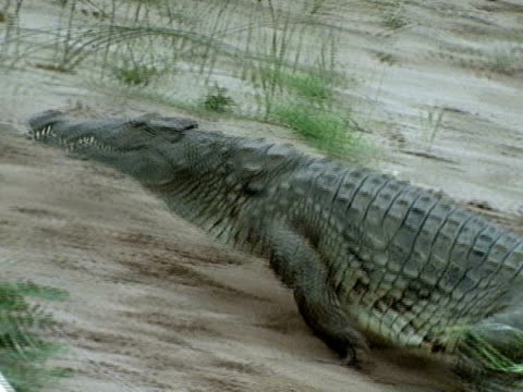 Female Crocodile walking back up from river to open clutch eggs