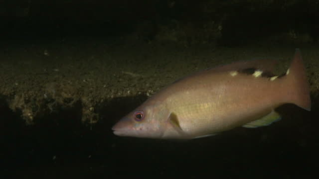 female cuckoo wrasse (labrus mixtus). arran. underwater, north atlantic - cuckoo wrasse stock videos & royalty-free footage
