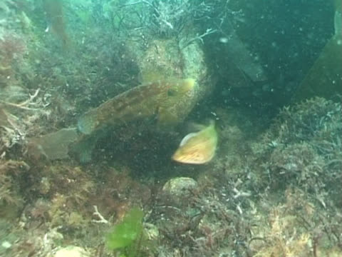 vídeos y material grabado en eventos de stock de ws female cuckoo wrasse laying eggs and male fertilising them. channel island, uk - cuckoo wrasse