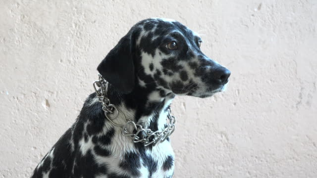 female dalmatian dog pet, portrait against an even cream colour background - dalmatian dog stock videos and b-roll footage