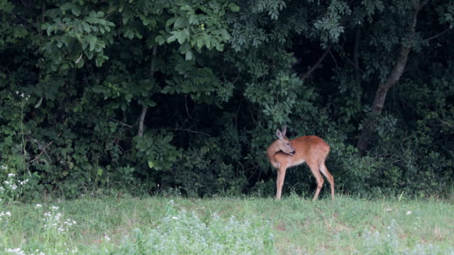 female deer eating at the edge of a forest - fawn stock videos & royalty-free footage