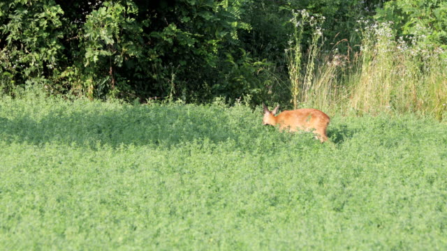 female deer eating on agricultural field during sunset - femmina di daino video stock e b–roll