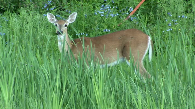 a female deer grazes on lush green grass in a forest. available in hd. - white tailed deer stock videos & royalty-free footage