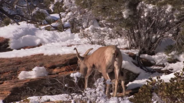 ms ts female desert bighorn sheep (ovis canadensis nelsoni) leads her newborn baby after a snowstorm. /utah, usa - herbivorous stock videos & royalty-free footage