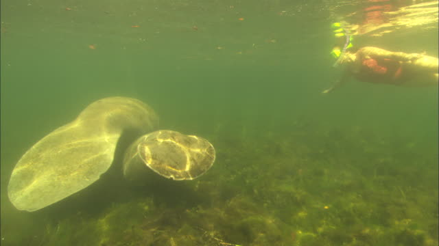 Female diver snorkelling Manatee, Crystal River, Florida, USA