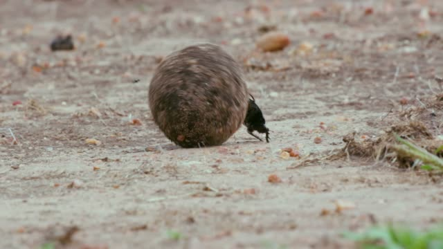 vídeos y material grabado en eventos de stock de female dung beetle is pushed on dung by male, maasai mara, kenya, africa - excremento