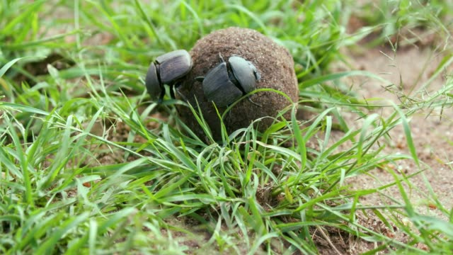 female dung beetle is pushed on dung by male, maasai mara, kenya, africa - dung stock videos & royalty-free footage