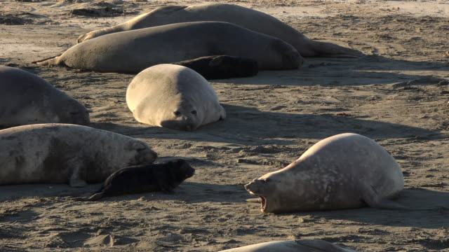 Female elephant seals with newborn in Patagonia