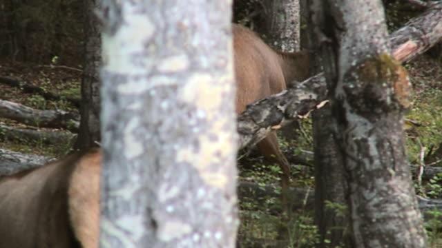 MS PAN Female elk (Cervus canadensis) walking through forest, Jasper National Park, Alberta, Canada