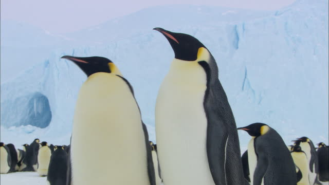 female emperor penguin leaving to find food for chick - female animal stock videos & royalty-free footage
