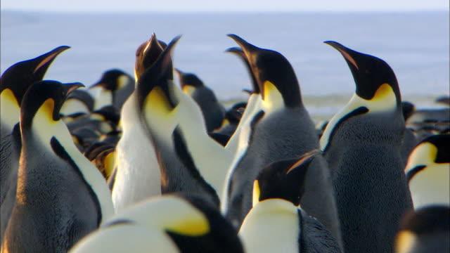 Female Emperor Penguins fighting over male penguin