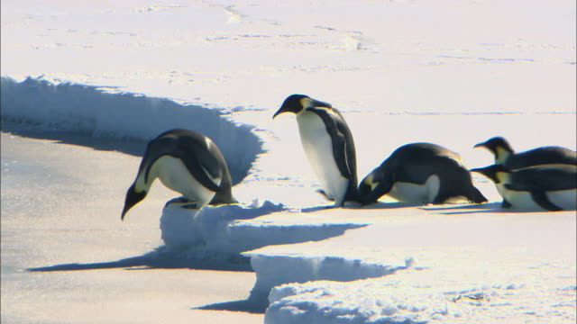 female emperor penguins sliding into the sea - sliding stock videos & royalty-free footage