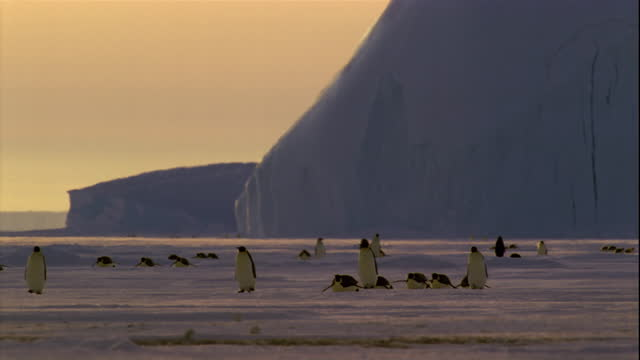 female emperor penguins walk and toboggan across the ice in antarctica. - female animal stock videos & royalty-free footage