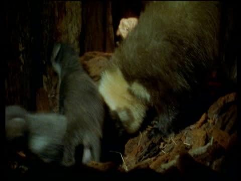 vídeos de stock e filmes b-roll de female enters pine marten nest containing two kits and licks them, scotland - vida de bebé
