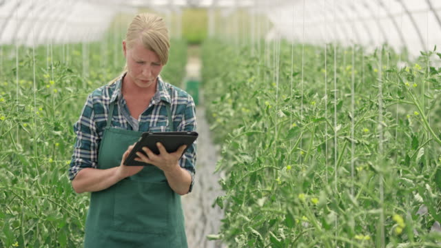 Female farm employee checking on the tomatoes using a digital tablet