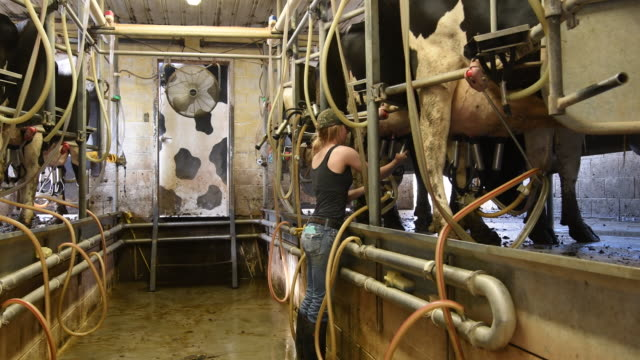 female farm worker attaching milking machine to dairy cows - only teenage girls stock videos and b-roll footage