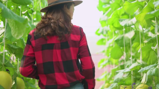 Female farm worker in greenhouse checking the grown cantaloupe