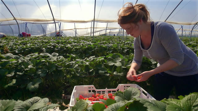 Female farm worker picks strawberries in poly tunnel during harvest.