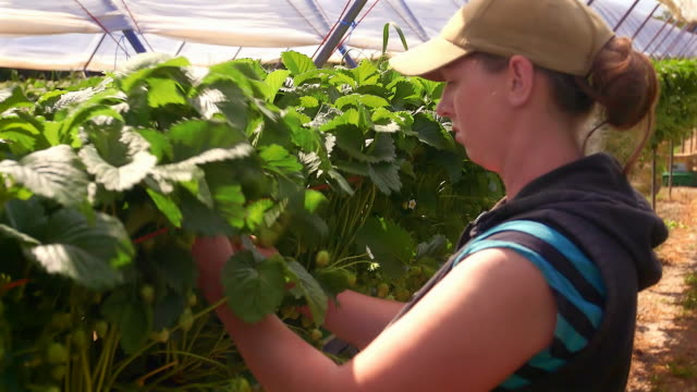 Female farm worker picks strawberries in poly tunnel