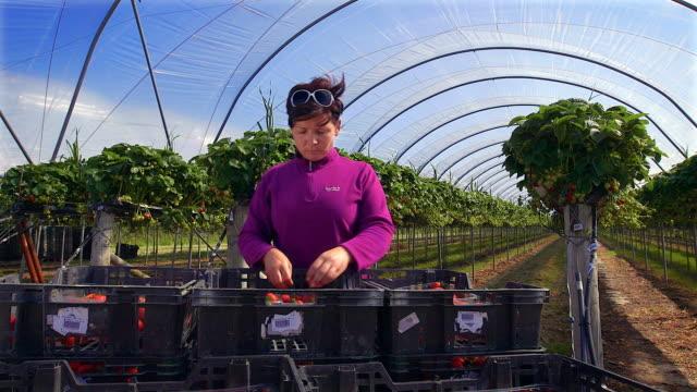 vídeos de stock e filmes b-roll de female farm worker sorts crates of strawberries in modern farming poly tunnel. - qualidade