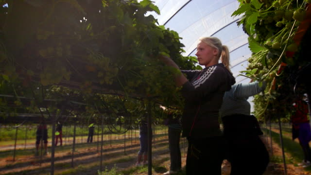 vidéos et rushes de female farm workers pick strawberries from raised beds in modern farming poly tunnel. - récolter