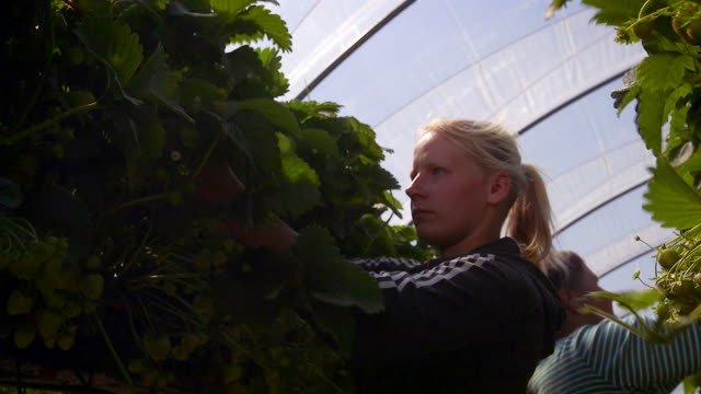 Female farm workers pick strawberries from raised beds in modern farming poly tunnel.