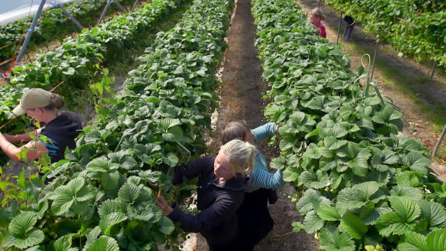 vídeos de stock, filmes e b-roll de female farm workers pick strawberries from raised beds in modern farming poly tunnel. - mulheres de idade mediana