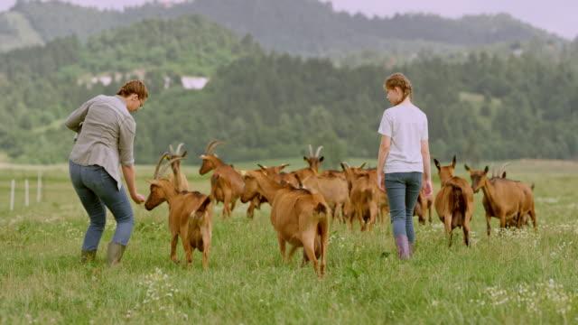 vidéos et rushes de agricultrice et sa fille portant le troupeau de chèvres dans le pâturage certaines traite - grand groupe d'animaux