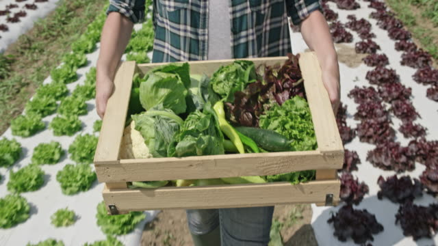 female farmer carrying a full wooden produce crate in the sunny field - cauliflower stock videos & royalty-free footage
