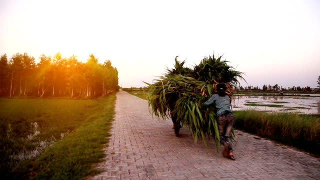 female farmer carrying sorghum crop on cycle - developing countries stock videos & royalty-free footage