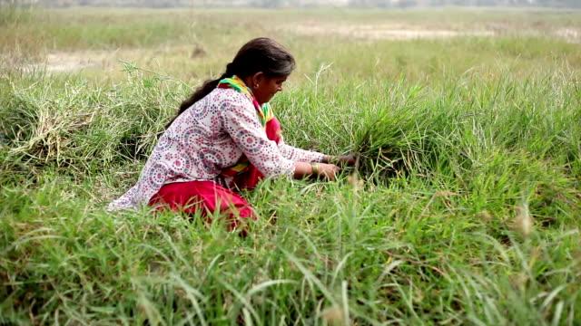 Female farmer cutting grass use as animal fodder