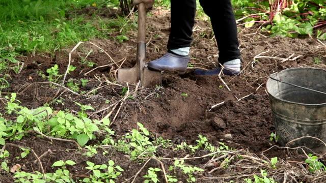 Female farmer digs potatoes at the vegetable garden