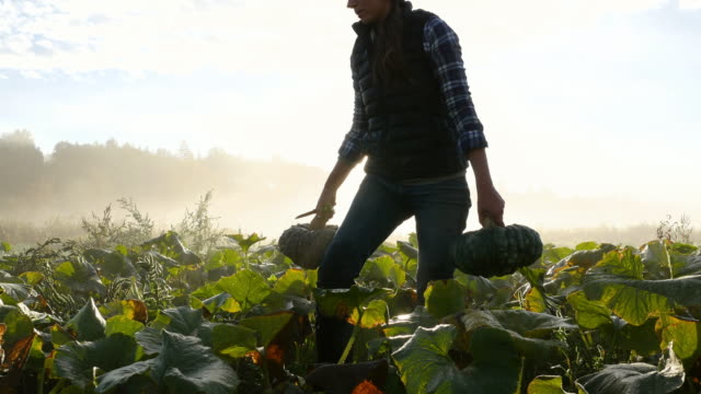 ms female farmer harvesting organic squash on fall morning at sunrise - produttore video stock e b–roll