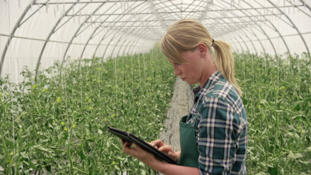 female farmer in the greenhouse checking tomato growth progress using a tablet - farmer stock videos & royalty-free footage