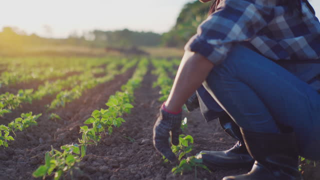 vídeos y material grabado en eventos de stock de mujer agricultor plantando plántulas en el suelo en el jardín, agricultura orgánica y concepto de jardinería de primavera - oficio agrícola
