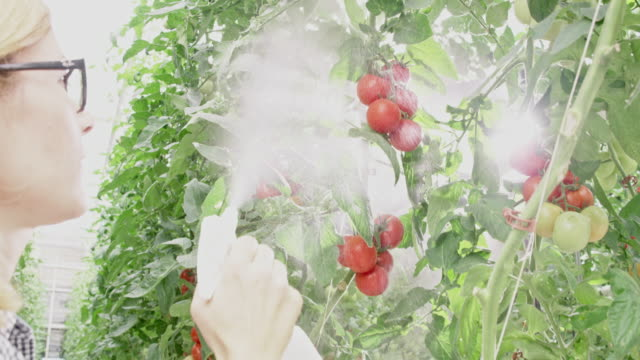 MS Female farmer spraying tomato plants in a greenhouse