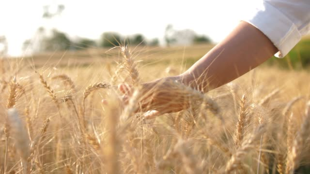 vídeos de stock e filmes b-roll de female farmer touching on wheat crops barley field , slow motion - campo